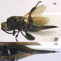 Figures 178–179. Oxycoryphe scutellatus Narendran, ♀, Cát Tiên N.P. 178 habitus lateral 179 metasoma dorsal.