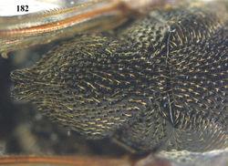 Figure 182. Oxycoryphe scutellatus Narendran, ♀, Cát Tiên N.P., scutellum dorsal.