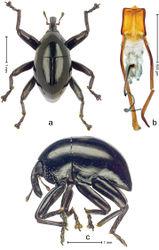 Figure 2. Trigonopterus obsidianus Van Dam & Riedel, sp. n., holotype; a Dorsal habitus b Lateral habitus c Penis.