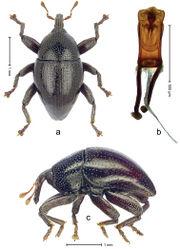 Figure 3. Trigonopterus puncticollis Van Dam & Riedel, sp. n., holotype; a Dorsal habitus b Lateral habitus c Penis.