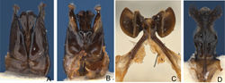Figure 4. Male holotype Goniocolletes wanni sp. n. (SAMA 32-032979). A genital capsule dorsal B id. ventral C S7 D S8.