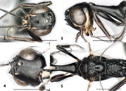 Figures 2–5. Foenatopus weii sp. n., holotype, female. 2 Head frontal 3 head and pronotum lateral 4 head dorsal 5 mesosoma dorsal. Scale bars: 1 mm.