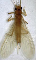 Figure 11. Neoperla mnong Stark. Female habitus, dorsal view.