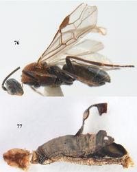 Figures 76–77. Aleiodes artesiariae sp. n., ♀, holotype. 76 habitus lateral 77 mummy of Macaria artesiaria (Denis & Schiffermüller) after extraction of adult.
