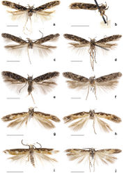 Figure 1. Adults of Neopalpa species. a–f Neopalpa neonata g–j Neopalpa donaldtrumpi sp. n. Neopalpa neonata: a holotype ♂ EMEC82306 (CA: Santa Catalina Island) b paratype ♂ EMEC342305 (Mexico: Baja California Sur) c ♀ CNCLEP00077350 (CA: Santa Cruz Island) d ♀ EMEC407544 (CA: Santa Cruz Island) e ♂ LACMENT326744 (CA: San Bernardino County) f ♀ EMEC408849 (CA: Modoc County); Neopalpa donaldtrumpi sp. n.: g Holotype ♂ UCBMEP0201628 (CA: Imperial County) h Paratype ♀ UCBMEP0201482 (CA: Imperial County) i Paratype ♂ UCBMEP0201629 (CA: Imperial County) j Paratype ♂ EMEC408498 (Mexico: Baja California Sur). For detailed specimen data see Suppl. material 1. Scale bar 2 mm.