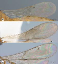 Figures 13–15. Fore wing, dorsal view 13 Calliscelio gatineau sp. n., female, holotype (OSUC 534340) 14 Calliscelio storea sp. n., female, holotype (OSUC 546117) 15 Calliscelio laticinctus Ashmead, female (OSUC 458242). Scale bars in millimeters.