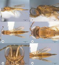 Figures 28–33. Calliscelio alcoa sp. n., female, holotype (OSUC 458212). 28 Lateral habitus 29 Head and mesosoma, lateral view 30 Dorsal habitus 31 Head and mesosoma, dorsal view 32 Head, anterior view 33 Metasoma, dorsal view. Scale bars in millimeters.