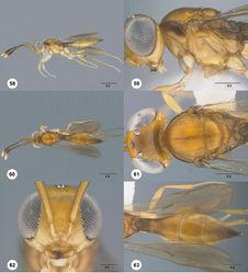 Figures 58–63. Calliscelio brachys sp. n., female, holotype (OSUC 193349). 58 Lateral habitus 59 Head and mesosoma, lateral view 60 Dorsal habitus 61 Head and mesosoma, dorsal view 62 Head, anterior view 63 Metasoma, dorsal view. Scale bars in millimeters.