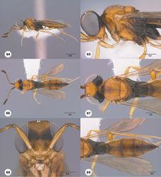 Figures 64–69. Calliscelio brevinotaulus sp. n., female, holotype (OSUC 190678). 64 Lateral habitus 65 Head and mesosoma, lateral view 66 Dorsal habitus 67 Head and mesosoma, dorsal view 68 Head, anterior view 69 Metasoma, dorsal view. Scale bars in millimeters.