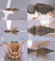 Figures 70–75. Calliscelio brevitas sp. n., female, holotype (OSUC 190705). 70 Lateral habitus 71 Head and mesosoma, lateral view 72 Dorsal habitus 73 Head and mesosoma, dorsal view 74 Head, anterior view 75 Metasoma, dorsal view. Scale bars in millimeters.
