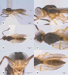 Figures 94–99. Calliscelio eboris sp. n., female, holotype (OSUC 193404). 94 Lateral habitus 95 Head and mesosoma, lateral view 96 Dorsal habitus 97 Head and mesosoma, dorsal view 98 Head, anterior view 99 Metasoma, dorsal view. Scale bars in millimeters.