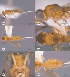 Figures 100–105. Calliscelio extenuatus sp. n., female, holotype (OSUC 48454). 100 Lateral habitus 101 Head and mesosoma, lateral view 102 Dorsal habitus 103 Head and mesosoma, dorsal view 104 Head, anterior view 105 Metasoma, dorsal view. Scale bars in millimeters.