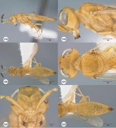 Figures 118–123. Calliscelio gatineau sp. n., female, holotype (OSUC 534340). 118 Lateral habitus 119 Head and mesosoma, lateral view 120 Dorsal habitus 121 Head and mesosoma, dorsal view 122 Head, anterior view 123 Metasoma, dorsal view. Scale bars in millimeters.