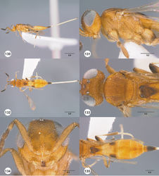 Figures 130–135. Calliscelio granulatus sp. n., female, holotype (OSUC 534599). 130 Lateral habitus 131 Head and mesosoma, lateral view 132 Dorsal habitus 133 Head and mesosoma, dorsal view 134 Head, anterior view 135 Metasoma, dorsal view. Scale bars in millimeters.
