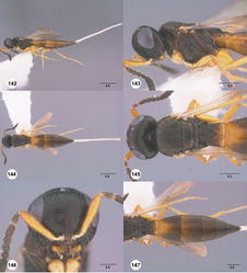 Figures 142–147. Calliscelio latifrons sp. n., female, holotype (OSUC 323077). 142 Lateral habitus 143 Head and mesosoma, lateral view 144 Dorsal habitus 145 Head and mesosoma, dorsal view 146 Head, anterior view 147 Metasoma, dorsal view. Scale bars in millimeters.
