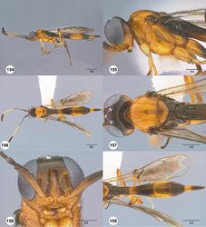Figures 154–159. Calliscelio longius sp. n., female, holotype (OSUC 374730). 154 Lateral habitus 155 Head and mesosoma, lateral view 156 Dorsal habitus 157 Head and mesosoma, dorsal view 158 Head, anterior view 159 Metasoma, dorsal view. Scale bars in millimeters.