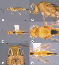 Figures 184–189. Calliscelio pararemigio sp. n., female, holotype (OSUC 458239). 184 Lateral habitus 185 Head and mesosoma, lateral view 186 Dorsal habitus 187 Head and mesosoma, dorsal view 188 Head, anterior view 189 Metasoma, dorsal view. Scale bars in millimeters.