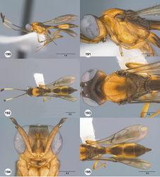 Figures 190–195. Calliscelio prolixus sp. n., female, holotype (OSUC 557587). 190 Lateral habitus 191 Head and mesosoma, lateral view 192 Dorsal habitus 193 Head and mesosoma, dorsal view 194 Head, anterior view 195 Metasoma, dorsal view. Scale bars in millimeters.