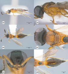 Figures 244–249. Calliscelio storea sp. n., female, holotype (OSUC 546117). 244 Lateral habitus 245 Head and mesosoma, lateral view 246 Dorsal habitus 247 Head and mesosoma, dorsal view 248 Head, anterior view 249 Metasoma, dorsal view. Scale bars in millimeters.