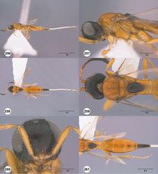 Figures 256–261. Calliscelio telum sp. n., female, holotype (OSUC 276704). 256 Lateral habitus 257 Head and mesosoma, lateral view 258 Dorsal habitus 259 Head and mesosoma, dorsal view 260 Head, anterior view 261 Metasoma, dorsal view. Scale bars in millimeters.
