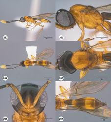 Figures 262–267. Calliscelio torqueo sp. n., female, holotype (OSUC 553598). 262 Lateral habitus 263 Head and mesosoma, lateral view 264 Dorsal habitus 265 Head and mesosoma, dorsal view 266 Head, anterior view 267 Metasoma, dorsal view. Scale bars in millimeters.