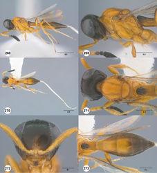Figures 268–273. Calliscelio virga sp. n., female, holotype (OSUC 534034). 268 Lateral habitus 269 Head and mesosoma, lateral view 270 Dorsal habitus 271 Head and mesosoma, dorsal view 272 Head, anterior view 273 Metasoma, dorsal view. Scale bars in millimeters.