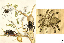 Figures 1–2. Historical aviculariine drawings. 1 Maria Sybilla Merian's plate from Metamorphosis insectorum Surinamensium (1705) depicting an Avicularia avicularia eating a bird 2 Clusius' (1611)[33] drawing of a possible Pachistopelma sp., the oldest known illustration of a tarantula (Theraphosidae, Aviculariinae) in the New World.