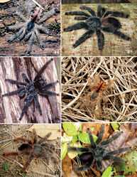 Figures 44–49. Avicularia avicularia (Linnaeus, 1758) morphotypes. 44–46 morphotype 6, from Trinidad and Tobago 44 immature 45 female 46 male 47–49 morphotype 7, from Juruti, state of Pará, Brazil 47 immature 48 female 49 male. Photos: 44–46 R. C. West; 47–49 F. E. Pimenta.