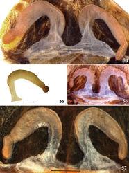 Figures 54–57. Avicularia variegata (F. O. Pickard-Cambridge, 1896) stat. n., spermathecae variation. 54 morphotype 1, Manaus, state of Amazonas, Brazil (INPA 4894) 55 holotype, Itacoatiara, state of Amazonas, Brazil (BMNH 1896.12.13.16) 56 morphotype 2, Alto Alegre, state of Roraima, Brazil (MZUSP 70946) 57 holotype of Avicularia bicegoi Mello-Leitão, 1923, Manaus, state of Amazonas, Brazil (MZUSP 133). Scale bars = 1 mm.