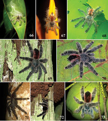 Figures 66–73. Avicularia variegata stat. n., morphotype 1, habitus 66 immature on leaf retreat 67 immature 68 juvenile 69 juvenile female 70 female 71 male 72 adult inside retreat on tree bark 73 female in coconut tree. Photos: 66–69, 71–73 Marlus Almeida; 70 R. C. West.