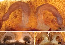 Figures 106–108. Avicularia juruensis Mello-Leitão, 1923, spermathecae variation. 106 paralectotype, Rio Juruá, state of Amazonas, Brazil (MZUSP 125C) 107 paralectotype, Rio Juruá, state of Amazonas, Brazil (MZUSP 125A) 108 morphotype 3, Pebas, department of Loreto, Peru (MNHN–AR 4902). Scale bars = 1 mm.