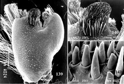 Figures 139–141. SEM microphotographs of cymbium process in male of Avicularia rufa. 139 dorsal view 140 process, detail, dorsal 141 well-developed setae of process.