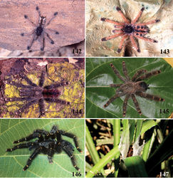 Figures 142–147. Avicularia rufa Schiapelli & Gerschman, 1945, habitus and retreat. 142 immature 143 juvenile 144 old juvenile 145 female 146 male 147 retreat on bromelid. Photos: 142–145, 147 R. Bertani; 146 W. Bokermann.