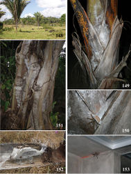 Figures 148–153. Avicularia rufa Schiapelli & Gerschman, 1945, habitat and retreats. 148 Babaçu palms, a common habitat of Avicularia rufa in state of Rondônia, Brazil 149 retreat of immature on a palm tree 150 detail of retreat 151 retreat over a tree bark 152 use of intern side of babaçu palm to build retreat 153 in human buildings. Photos: 148–152 R. Bertani; 153 C. S. Fukushima.