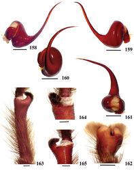 Figures 158–165. Avicularia purpurea Kirk, 1990, male (CAS 3; except palpal bulb in prolateral view, CAS 7). 158–161 left palpal bulb 158 prolateral 159 retrolateral 160 frontal 161 dorsal 162 left cymbium, dorsal 163–165 left tibial apophysis of leg I 163 prolateral 164 ventral 165 retrolateral. Scale bars = 1 mm.