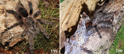 Figures 199–200. Avicularia merianae sp. n., habitus and retreat. 199 female 200 silken retreat over tree bark. Photos: H.-W. Auer.