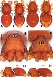 Figure 7. Ablemma malacca sp. n., male holotype (A–B, E, G) and female paratype (C–D, F, H). A–D, G–H habitus E–F prosoma. A, C dorsal B, D ventral E–F anterior G–H lateral. Scale bars: 0.10 mm.