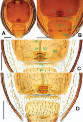 Figure 9. Ablemma malacca sp. n., female paratype. A opisthosoma B genital area (untreated) C cleared vulva (lactic acid-treated) D ditto. A–B, D ventral C dorsal. Abbreviations: A = anal plate; AV = anterior ventrolateral plate; EF = epigynal fold; EP = epigynal pit; IVP = inner vulval plate; LH = lateral horn; PA = preanal plate; PG = postgenital plate; PLC = posterolateral corner of PA; PMC = posteromedial corner of PA; SR = seminal receptaculum; VD = vulval duct; VS = vulval stem. Scale bars: 0.10 mm.