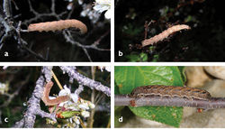 Figures 9. a–d Larvae of Abagrotis benjamini a–c in situ, Aquinnah, MA, 2016 (P. Goldstein) d Dartmouth, MA, 2012. (M. Nelson).