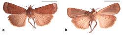 Figure 16. Holotype of Abagrotis crumbi race benjamini Franclemont. a Dorsal b Ventral. Scale bars: 1 cm (Photos B. Proshek).