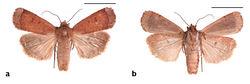 Figure 17. Abagrotis benjamini Franclemont, Aquinnah, MA. P.Z. Goldstein. a Dorsal b Ventral. Scale bars: 1 cm (Photos B. Proshek).