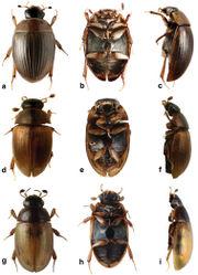 Figure 3. Cercyon spp. a–c Cercyon spiniventris sp. n. d–f Cercyon nigriceps Marsham g–i Cercyon quisquilius Linnaeus a, d, g dorsal habitus b, e, h ventral habitus c, f, i lateral habitus.