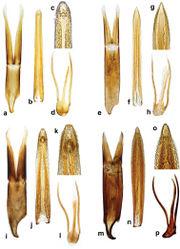 Figure 5. Cercyon spp. n. genitalia a–d Cercyon gimmeli sp. n. e–h Cercyon taino sp. n. i–l Cercyon armatipenis sp. n. m–p Cercyon sklodowskae sp. n. a, e, i, m tegmen of aedeagus b, f, j, n median lobe of aedeagus c, g, k, o 9th sternite.