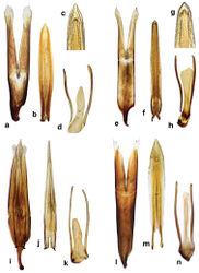 Figure 6. Cercyon spp. n. genitalia a–d Cercyon praetextatus Say e–h Cercyon spiniventris sp. n. i–k Cercyon nigriceps Marsham l–n Cercyon quisquilius Linnaeus a, e, i, l tegmen of aedeagus b, f, j, m median lobe of aedeagus c, g 9th sternite.