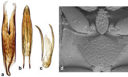 Figure 7. Cercyon floridanus Horn a tegmen of aedeagus b median lobe of aedeagus c 9th sternite d ventral view of pterothorax.