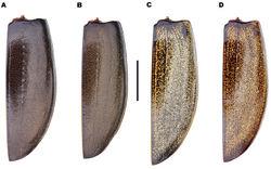 Figure 4. Meladema species males, colour pattern of isolated elytra (DNA voucher codes, where applicable). A M. coriacea, Spain, Murcia, Fte. Caputa B M. lepidoptera sp. n., Corsica, Cap Corse (NHM-IRM12F) C M. imbricata, La Gomera, El Cedro (NHM-IRM3A) D M. lanio, Madeira, Ribeira dos Cedros (NHM-IRM8A). Scale bar = 5 mm.
