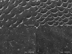 Figure 5. Meladema species males, elytral shoulder sculpture SEMs (DNA voucher codes, where applicable). A M. coricaea, Spain, Murcia, Fte. Caputa B M. lepidoptera sp. n., Corsica, Cap Corse (NHM-IRM12F) C M. imbricata, La Gomera, El Cedro (NHM-IRM3A) D M. lanio, Madeira, Ribeira dos Cedros (NHM-IRM8A).