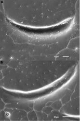 Figure 6. Details of elytral shoulder sculpture SEMs (DNA voucher codes where applicable). A M. coriacea, Spain, Murcia, Fte. Caputa B M. lepidoptera sp. n., Corsica, Cap Corse (NHM-IRM12F).