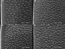 Figure 8. Meladema species elytral middle sculpture SEMs (DNA voucher codes where applicable). A M. coriacea, male, Spain, Murcia, Fte. Caputa B M. lepidoptera sp. n., male, Corsica, Cap Corse (NHM-IRM12F) C M. coriacea, female, Spain, Murcia, Fte. Caputa D M. lepidoptera sp. n., female, Corsica, Porto-Vecchio (NHM-IRM12A).