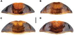 Figure 11. Meladema species males, abdominal ventrite 6 (DNA voucher codes where applicable). A M. coricaea, Spain, Murcia, Fte. Caputa B M. lepidoptera sp. n., Corsica, Cap Corse (NHM-IRM12F) C M. imbricata, La Gomera, El Cedro (NHM-IRM3A) D M. lanio, Madeira, Ribeira dos Cedros (NHM-IRM8A). Scale bar = 1 mm.